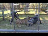 Ghepardo attacca due uomini, video girato da turisti in visita al parco