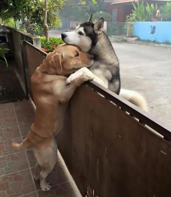 La foto abbraccio dei cani husky e labrador, virale sul web a testimonianza che l'amicizia non cosa solo tra umani